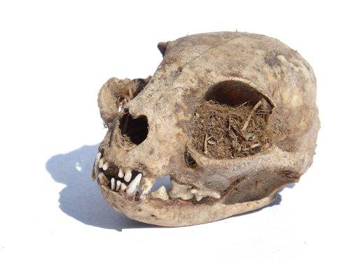 skull  carnivorous  huron