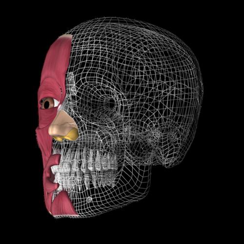skull 3d anatomy anatomy 3d
