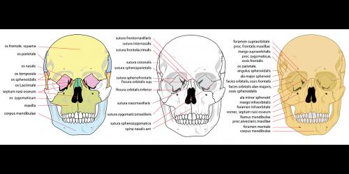 skull human front
