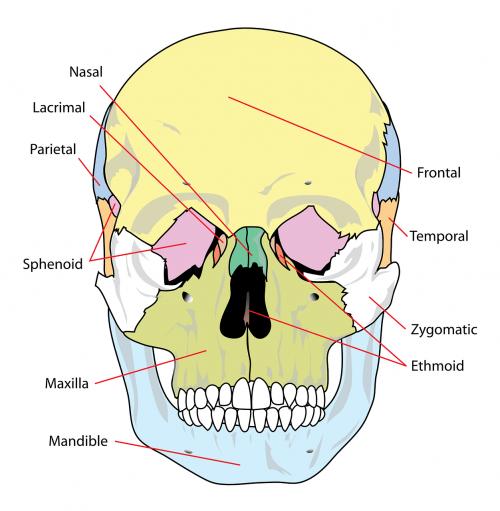 skull diagram labelled