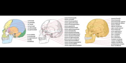 skull human side
