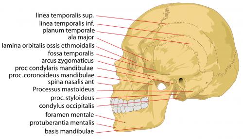 skull human head