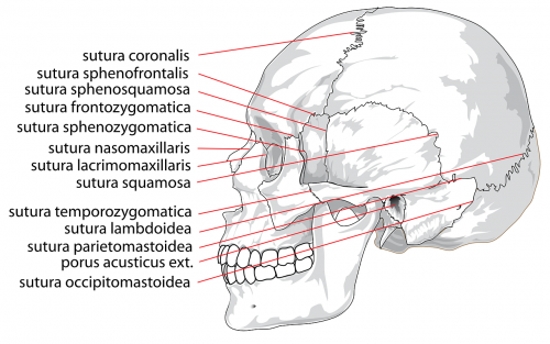skull human labeled
