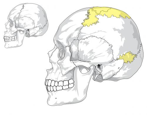 skull human cranium