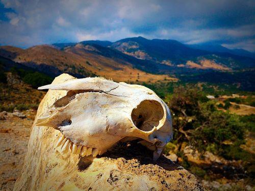 skull animal skull bone
