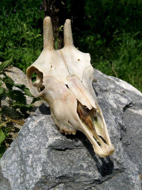 skull goat buck skeleton