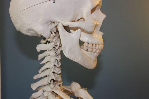 skull vertebrae anatomy