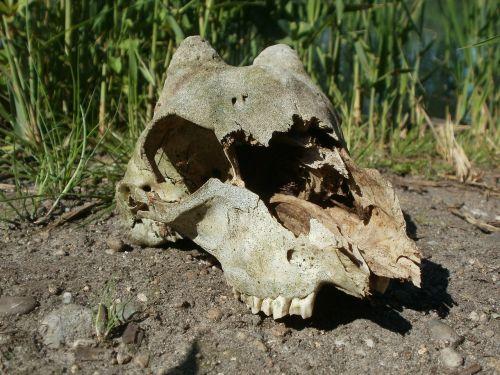 skull cervidae deer