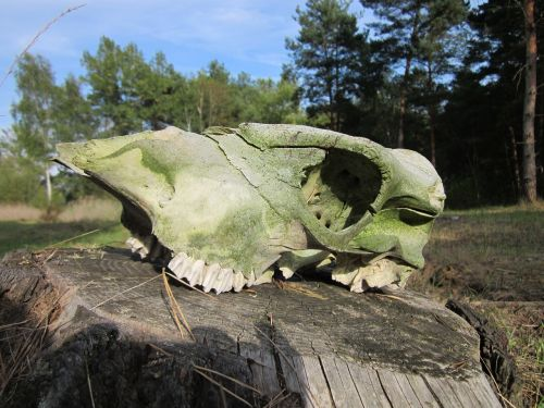skull bone animal