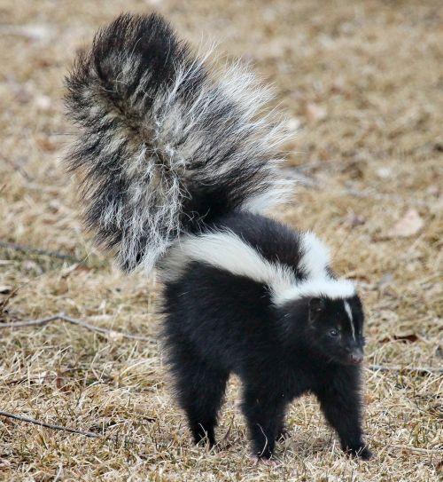 skunk wildlife portrait