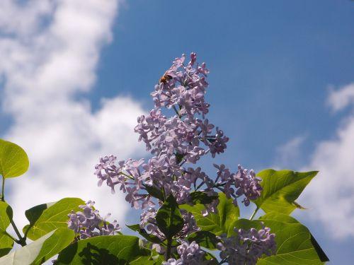 sky lilac lilac flowers