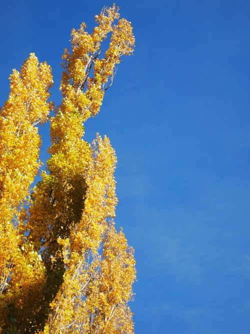 sky blue poplar