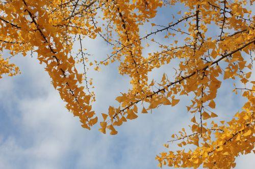 sky wood ginkgo
