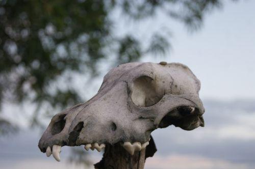 sky skull stubborn