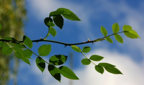sky,branch,green,spring,shades of green,make the most of,leaves,green green,branches,thorn,section,plant,thorns,pink