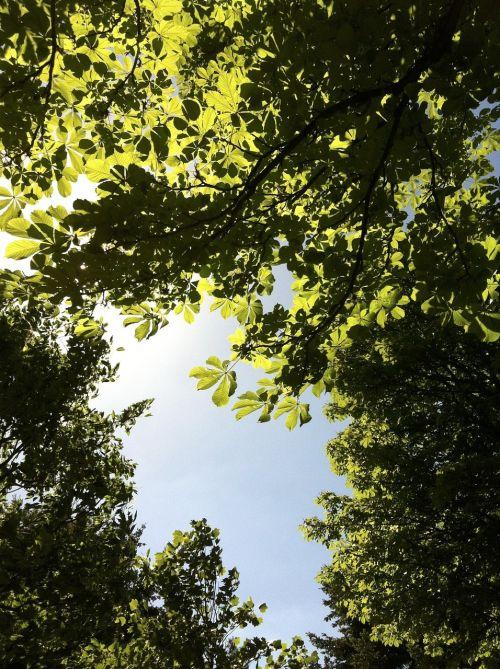 sky chestnut look chestnut leaves