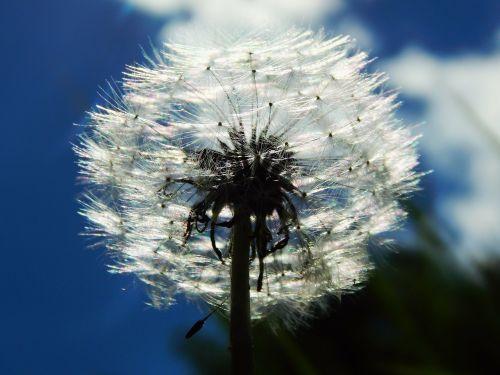 sky dandelion fluff