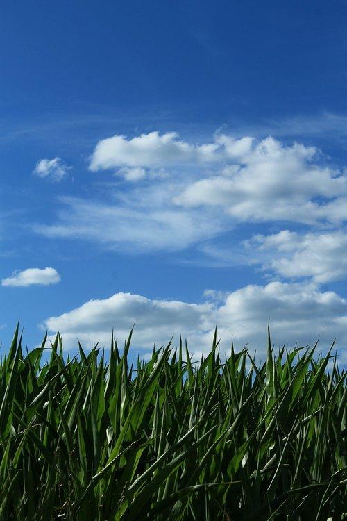 sky  corn  horizon