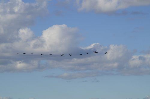 sky bird flight migratory birds