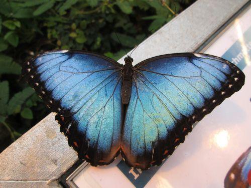 dangus drugelis,edelfalter,drugelis,mėlynas morfofleris,sparnas,vabzdys,didelis drugelis