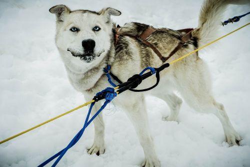 sled dog alaska dog sled