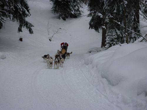 sled dog race huskies dogs