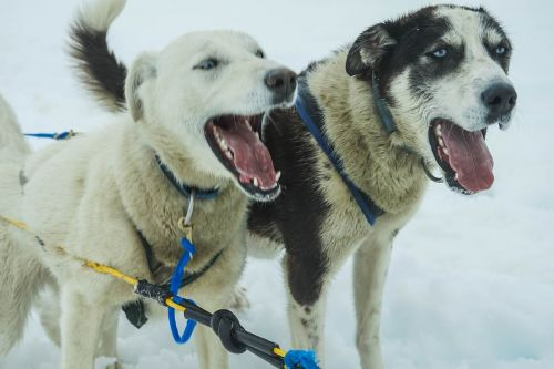 sled dogs alaska dog sled