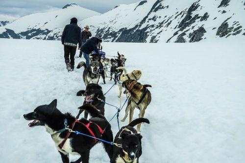sled dogs alaska dog sled