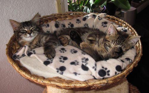 sleeping 2 kittens snuggle