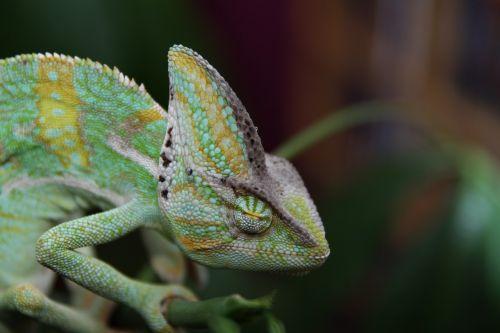 sleeping chameleon yemen chameleon reptile