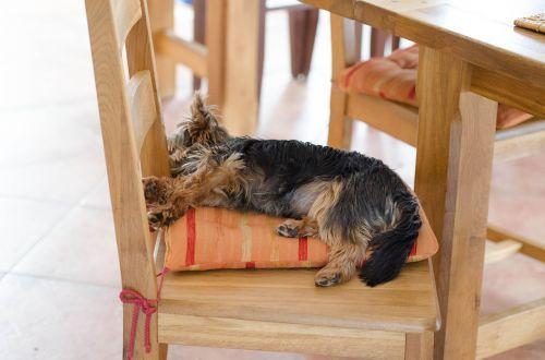sleeping dog small dog purebred dog