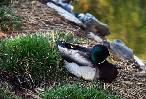 Sleeping Mallard Duck