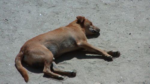 Sleeping Street Dog.
