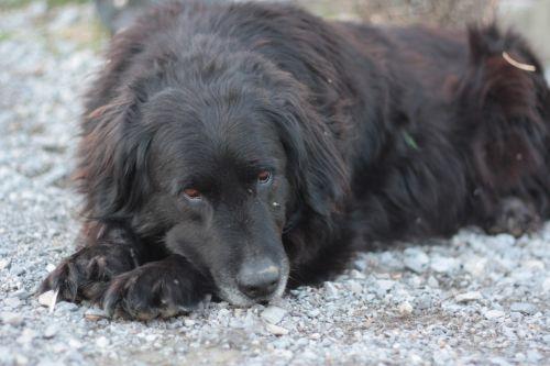 Sleepy Black Dog