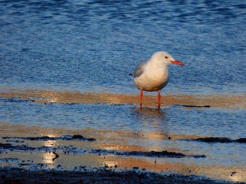 slender-billed gull  bird  birdwatching