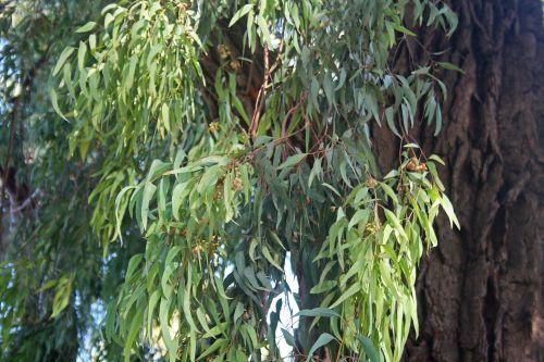 Slender Leaves Of Eucalyptus Tree