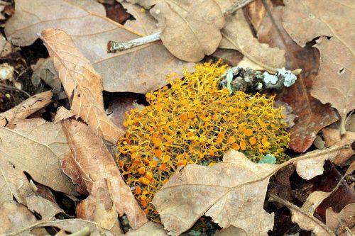 Slender Orange Bush Lichen Close-up