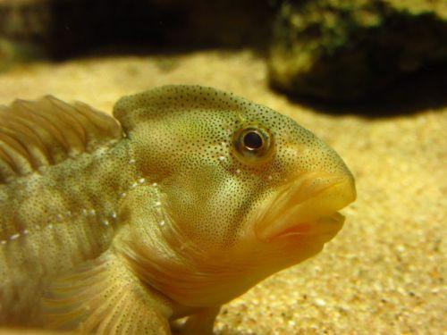 slime fish freshwater fish slime salaria fluviatilis
