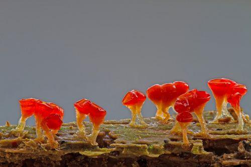 slime mold trichia decipiens single celled organisms