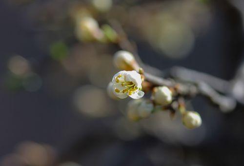 sloe flowering blackthorn flower