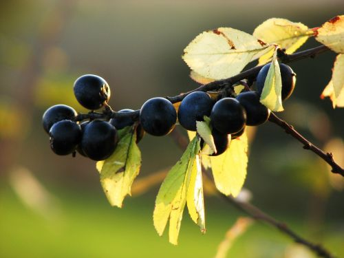 sloes,uogos,vaisiai,mėlynas,juodmedis,krūmas,ruduo,laukiniai vaisiai,dygliuotas