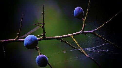 sloes  blackthorn  berries