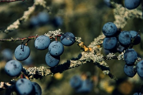 sloes  blackthorn  prunus spinosa