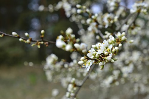 sloes  blackthorn  blackthorn flowers