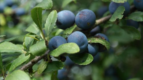 sloes schlehendorn blackthorn