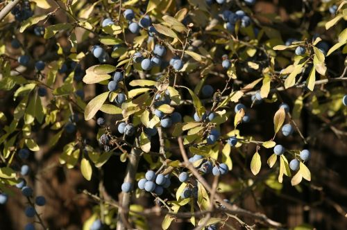 sloes fruits autumn