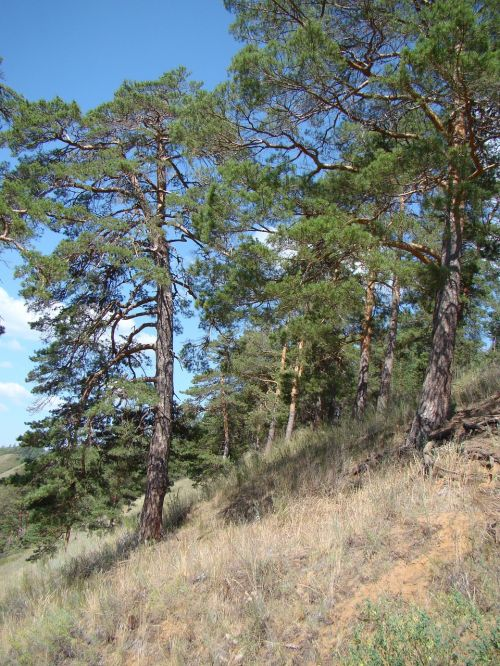 slope from the bottom pine