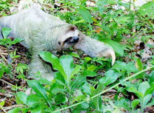 sloth mammal animal