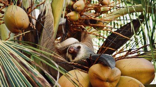 sloth  costa rica  tree