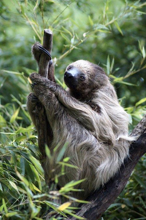 sloth  tree  animal